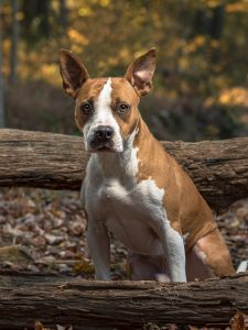 pit-bull-dog-outdoor-pet-photography