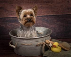Yorkie in washtub studio dog photography