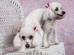 studio pet photography session with two white poodles