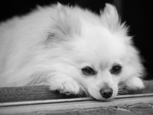 Pomeranian resting during dog photography session