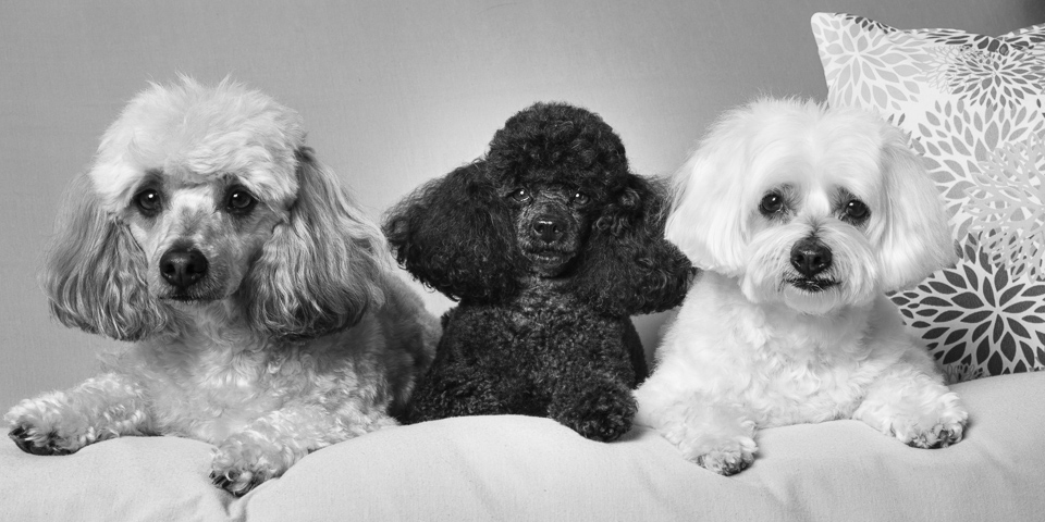 Pet photography studio portrait of three dogs