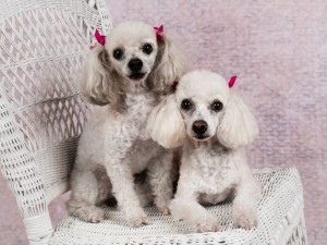 fairfax-va-dog-photographer-poodle-pet-photography-tips-1