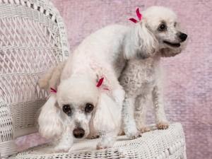 fairfax-va-dog-photographer-poodle-pet-photography-tips-2