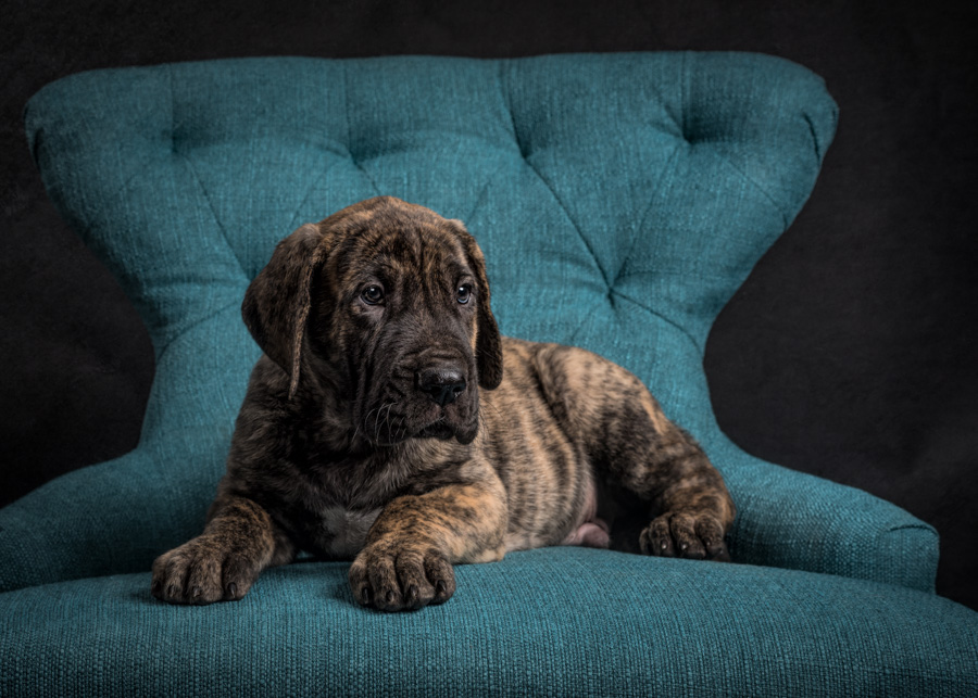 artful paws photography picture of brindle great dane puppy lying down on blue chair
