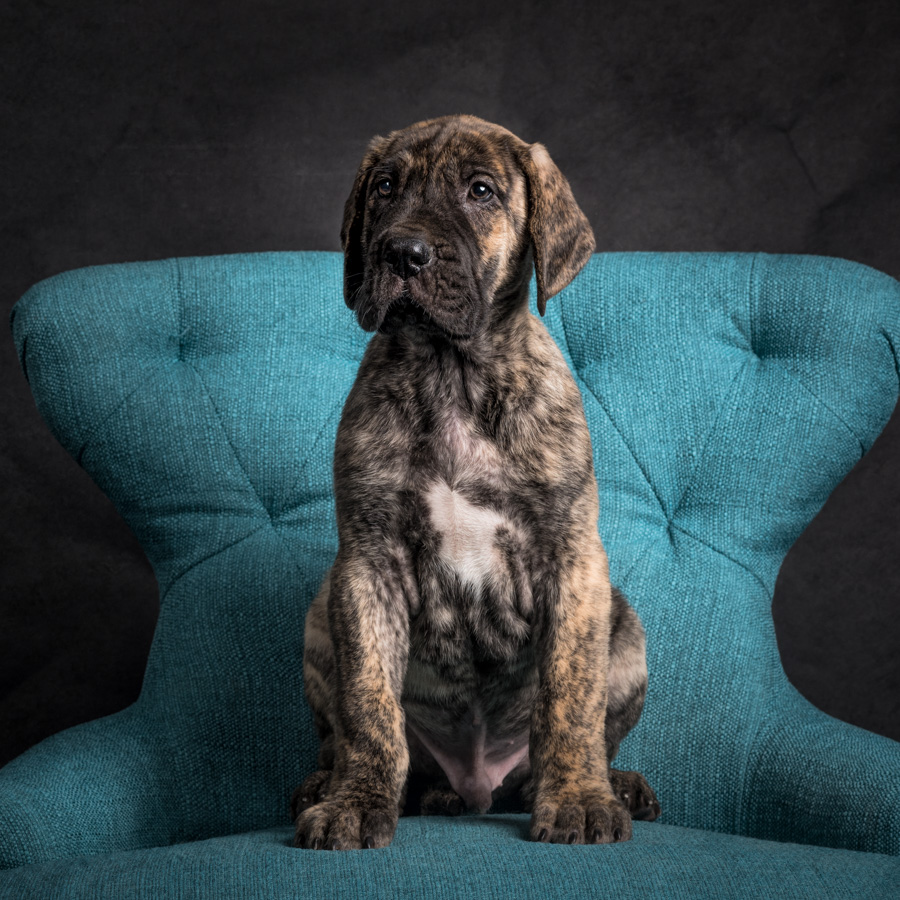 artful paws photography picture of brindle great dane puppy sitting on blue chair