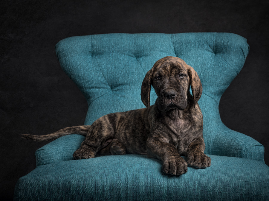 artful paws photography photo of brindle great dane puppy lying on a blue chair