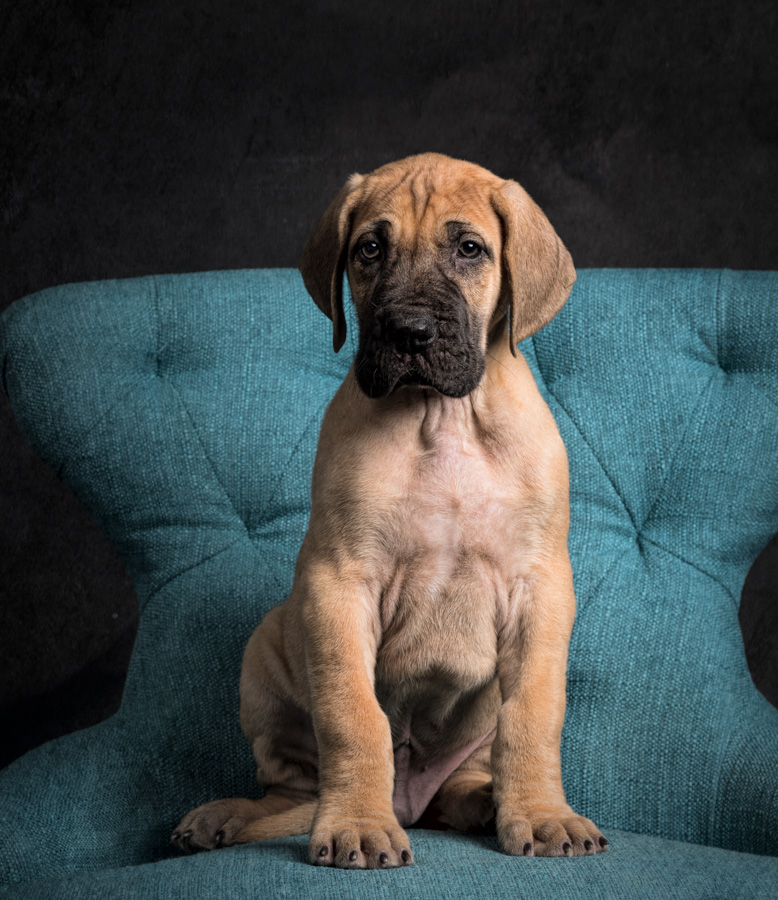 artful paws photography picture of fawn great dane puppy sitting on a blue chair