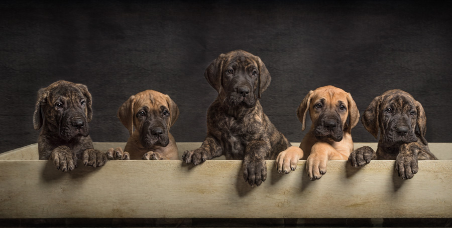 five Great Dane puppies in a box