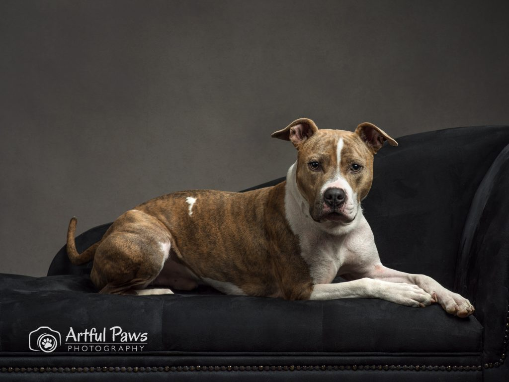 pit-bull-dog-on-chaise-studio-dog-photography