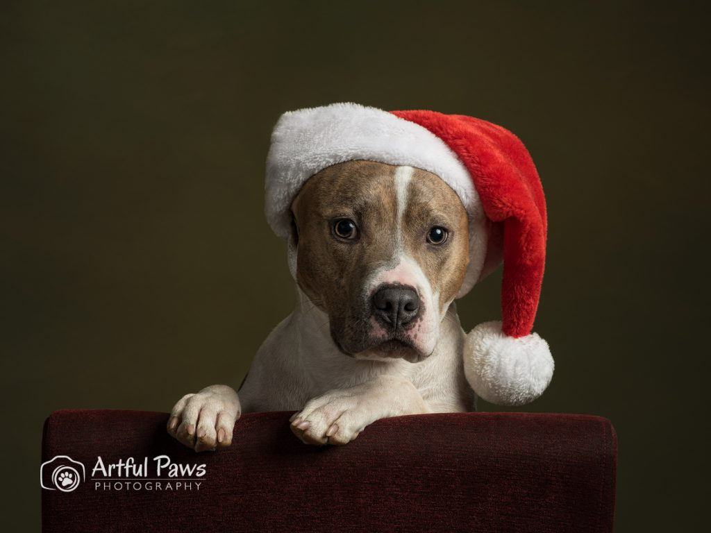 pit bull dog in christmas hat