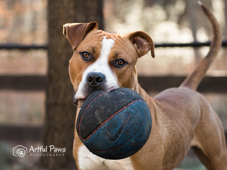 pit-bull-with-ball-outdoor-dog-photography
