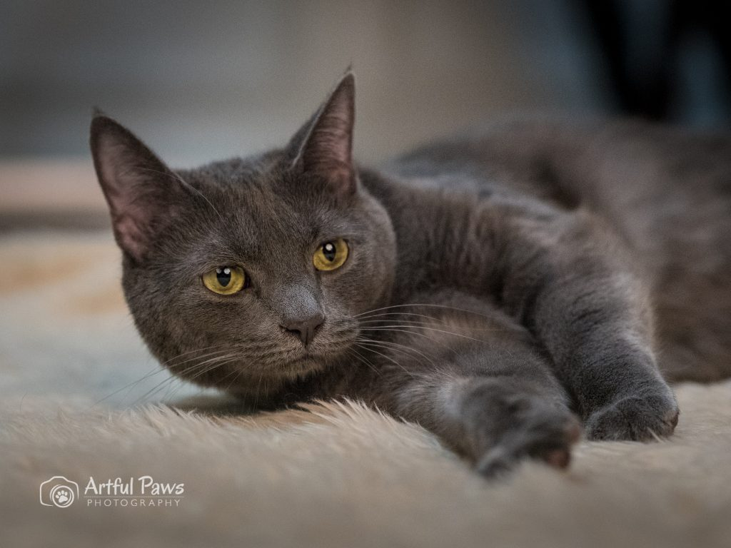 va-pet-photography-grey cat with yellow eyes