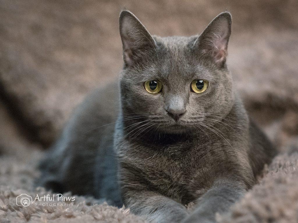 grey cat with yellow eyes-va-pet-photography