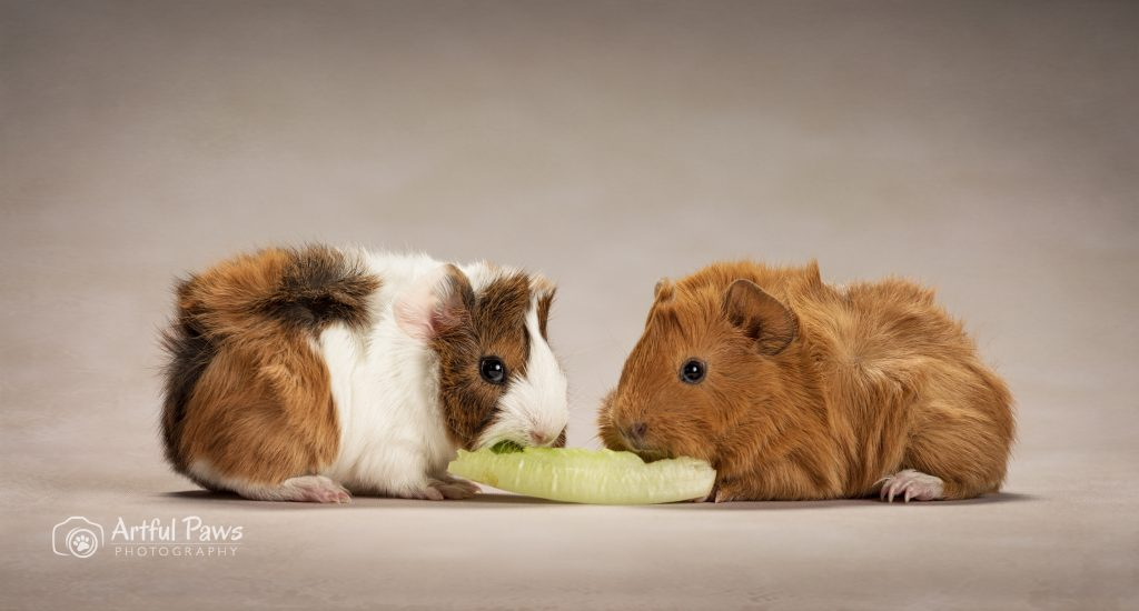 two baby guinea pigs eating lettuce