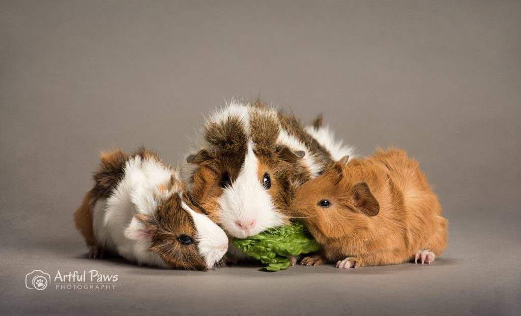 mother guinea pig with two babies