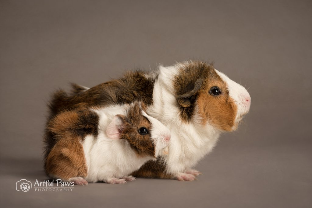 mother guinea pig with baby guinea pig