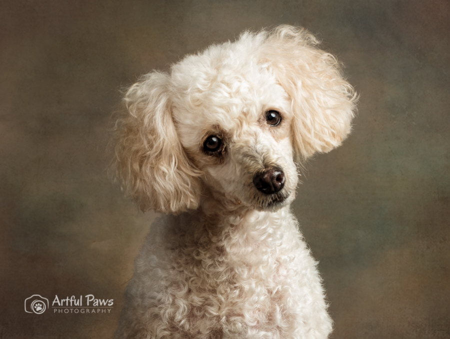 dc-dog-photography-poodle-studio-fcas-2710.jpg