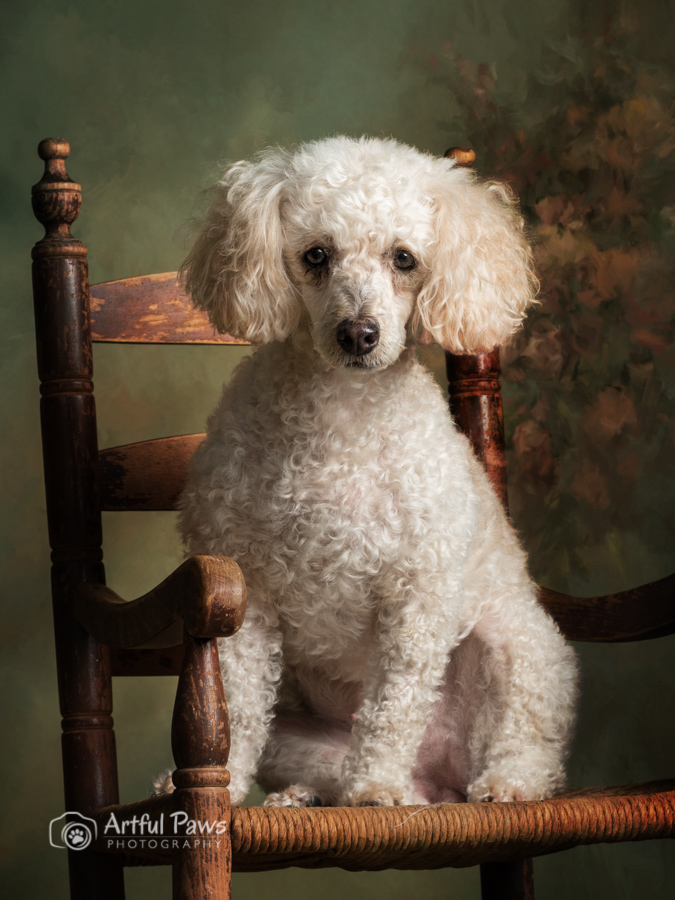 studio-dog-photographer-bichon-frisse-poodle