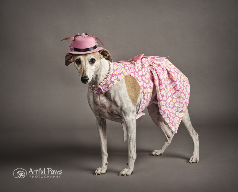 dc-va-dog-photographer-studio-whippet-pet-photography-1764.jpg