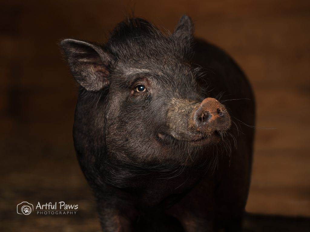 pot-bellied-pig-studio-photography