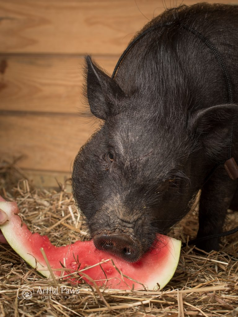 pot-bellied-pig-eating-watermelon