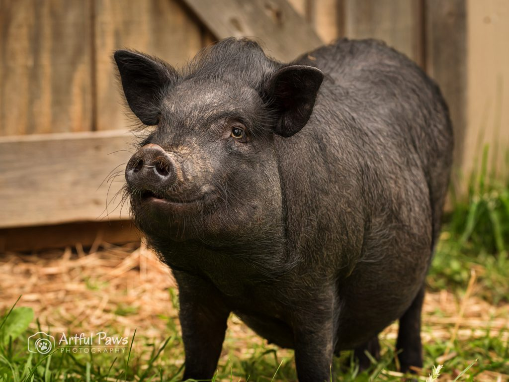 pot-bellied-pig-barn-pet-photography