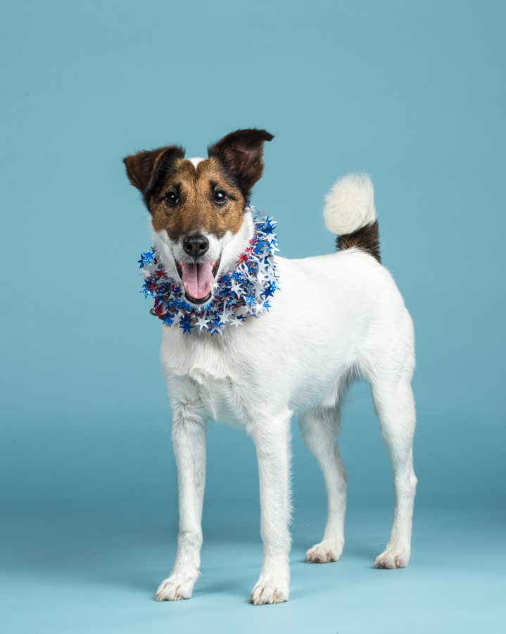 smooth-fox-terrier-patriotic-dog-dc-dog-photographer
