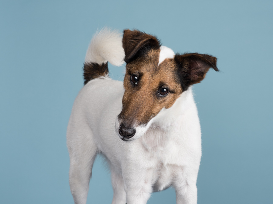 studio-dog-photography-fox-terrier-a-dog-photographer