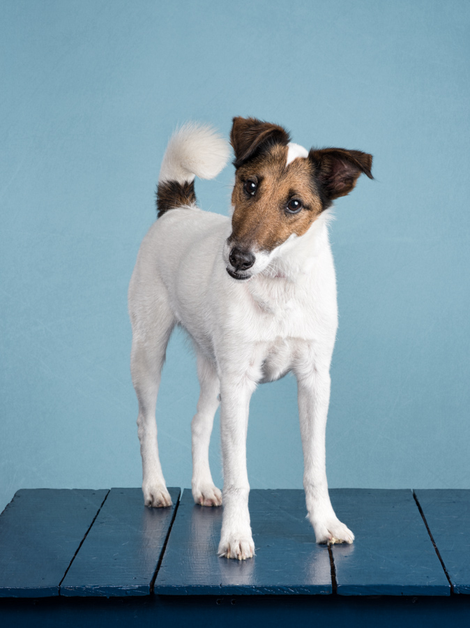 terrier-blue-studio-dog-photography