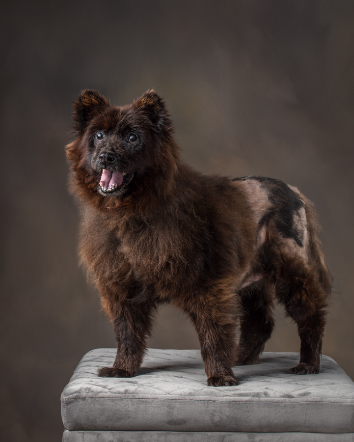 rescue-chow-studio-dog-photography-northern-virginia