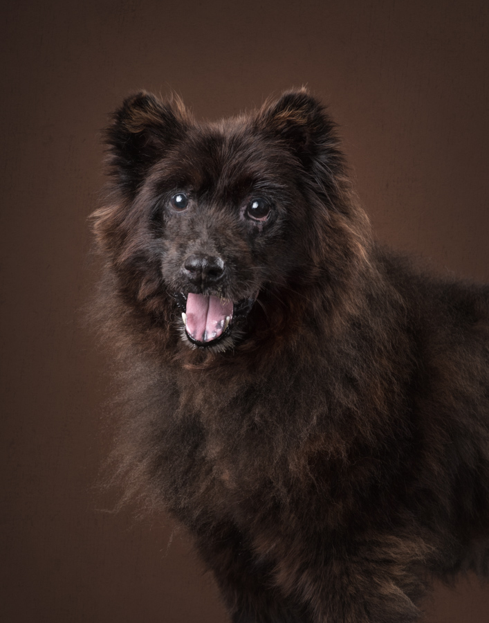 va-dc-dog-photographer-studio-portrait-chow-rescue-5047.jpg