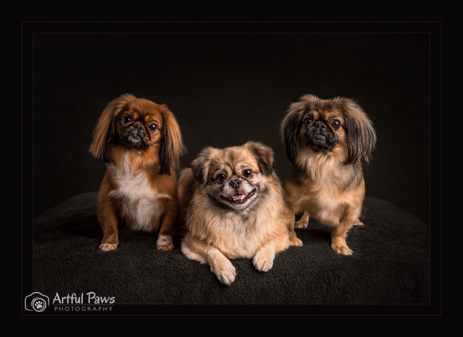 pic-merit-image-three-small-dogs-low-key