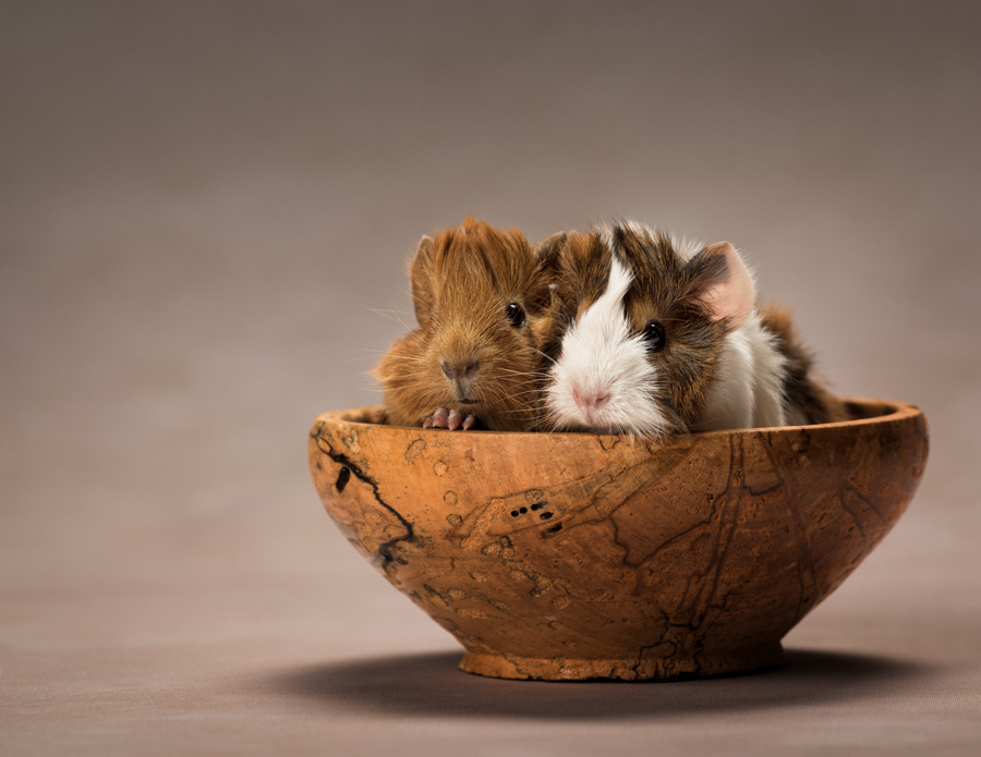 baby-guinea-pigs-in-bowl-studio-photo