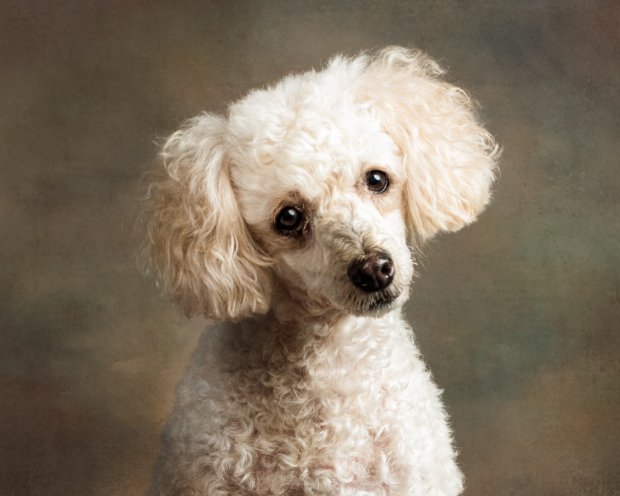studio-dog-portrait-poodle