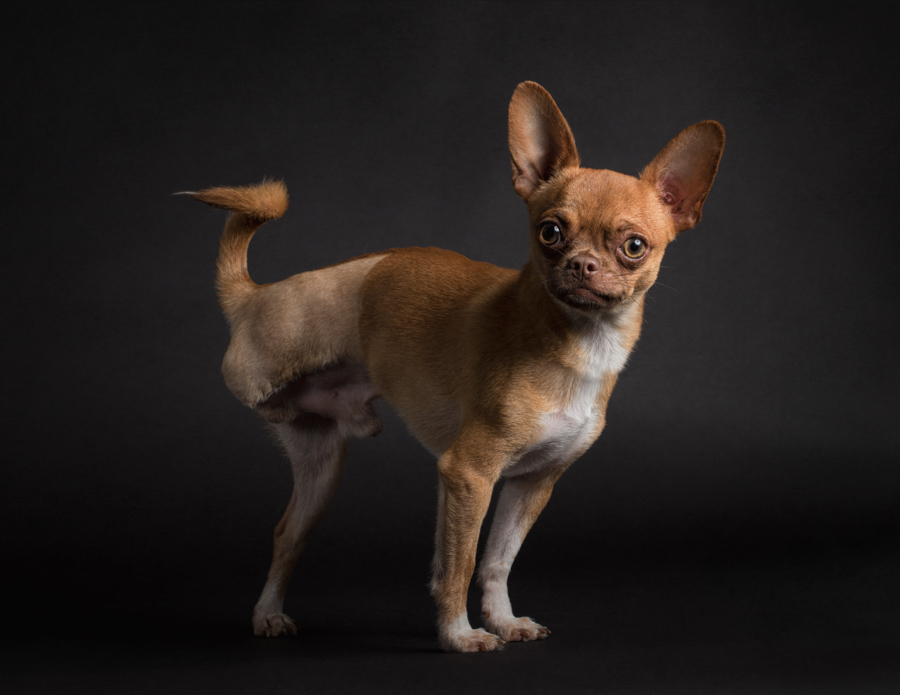 three-legged-chihuahua-professional-photo-studio