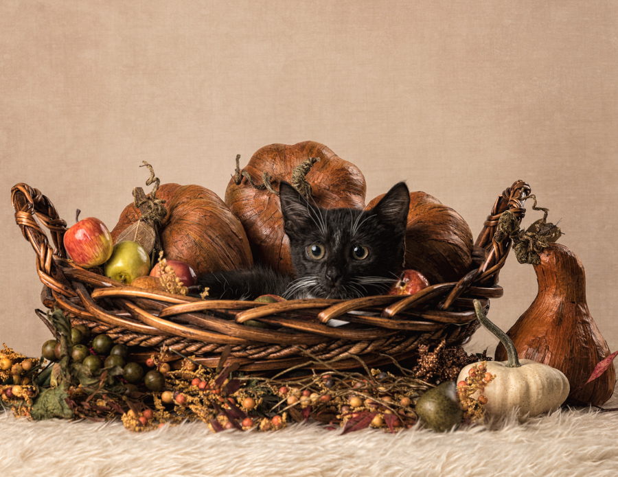 thanksgiving-cat-kitten-studio-photo