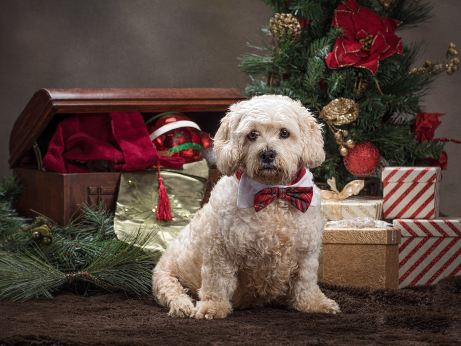 christmas-dog-studio-photo