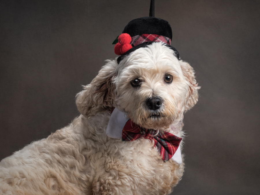cocker-spaniel-christmas-hat-bowtie