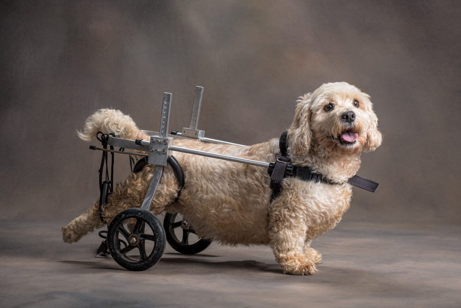 dog-wheelchair-studio-photo-cocker-spaniel