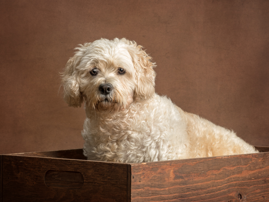 studio-dog-photography-brown-dog-in-box