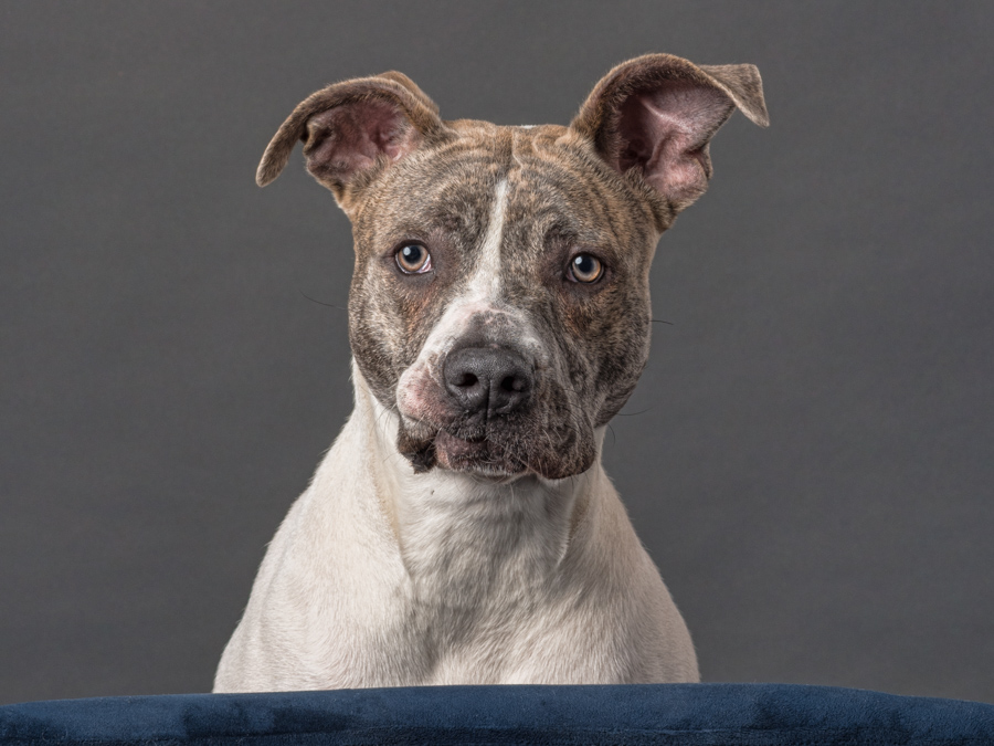 studio dog photographer near dc Staffordshire terrier dog photographer near dc