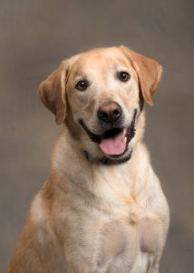 studio-dog-labrador-headshot-