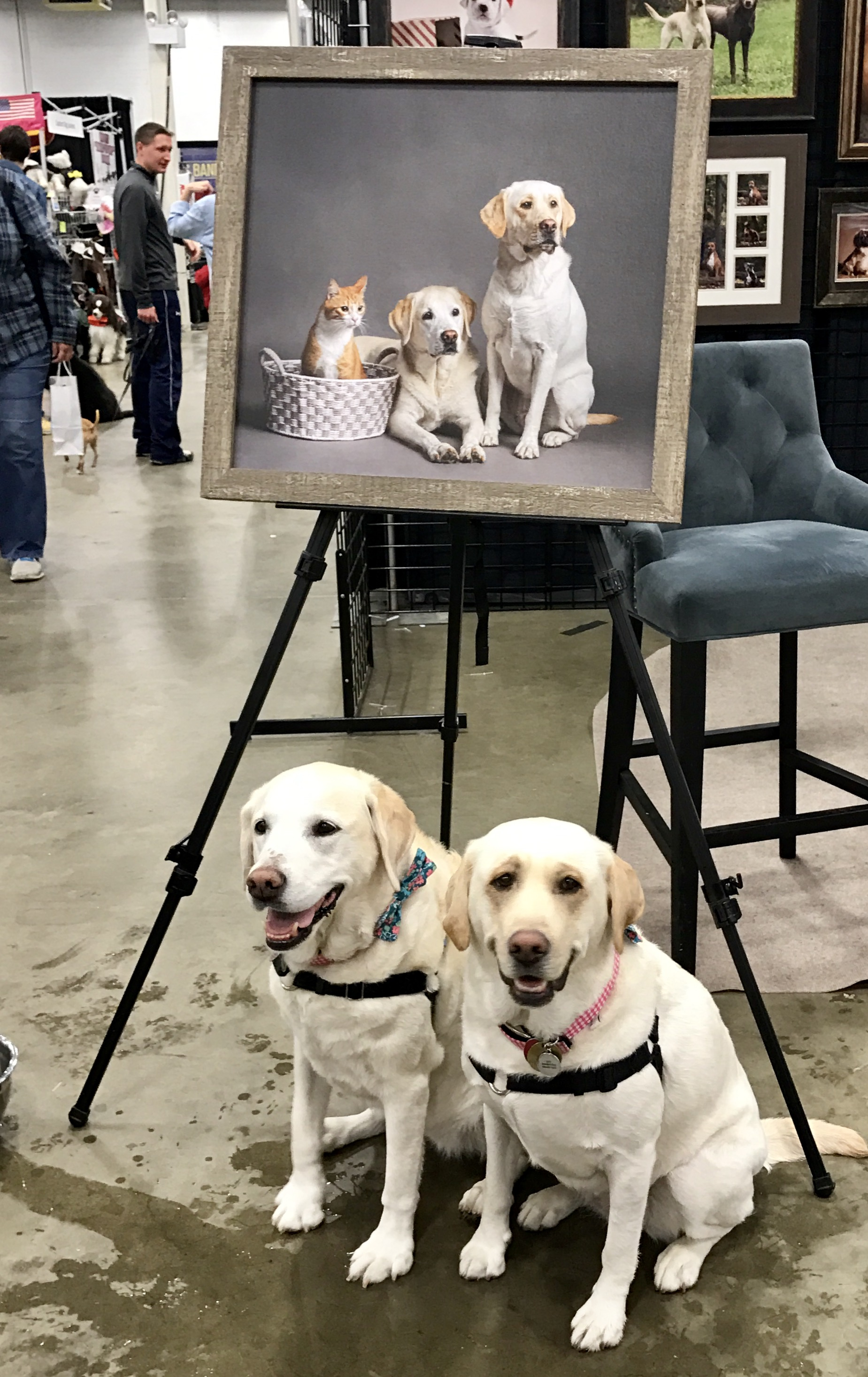 two-labrador-retrievers-super-pet-expo
