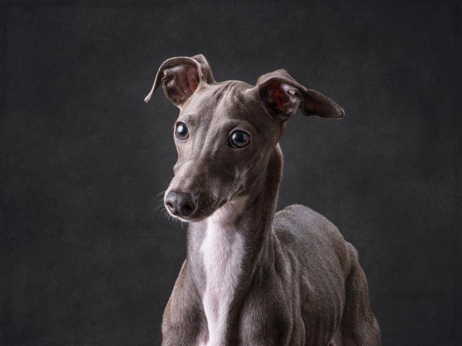 headshot-studio=dog-photography-italian-greyhound