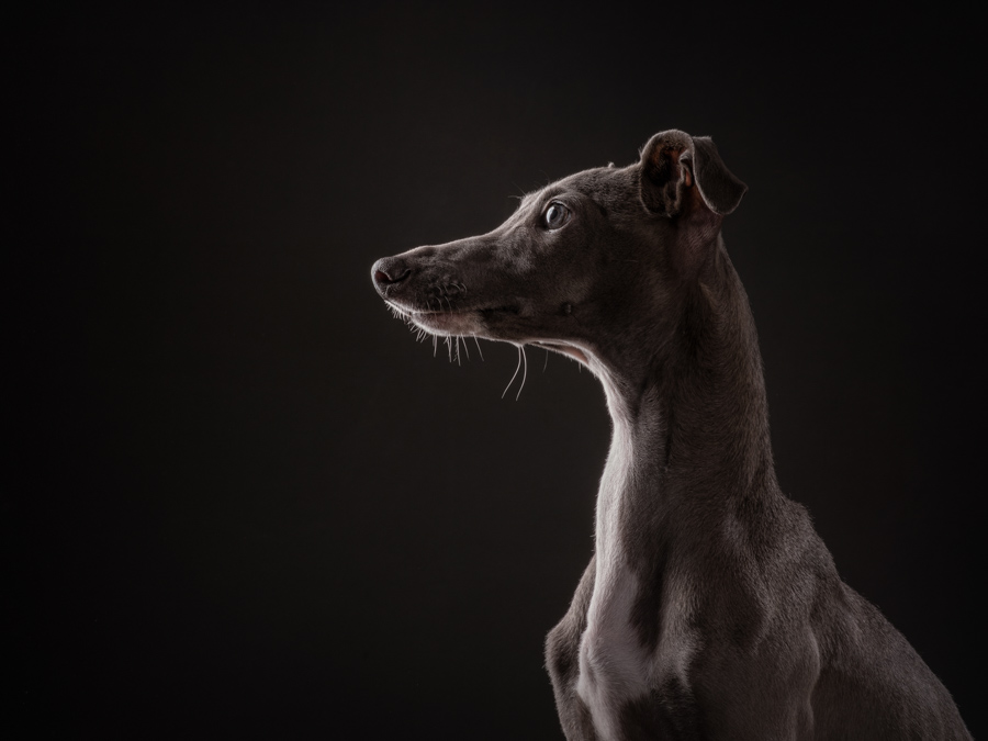 studio-dog-photography-profile-italian-greyhound-low-key