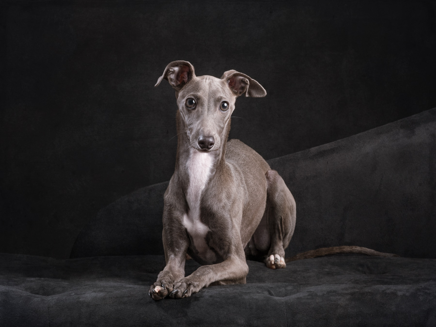 utalian-greyhound-studio-dog-photography-lblack-background