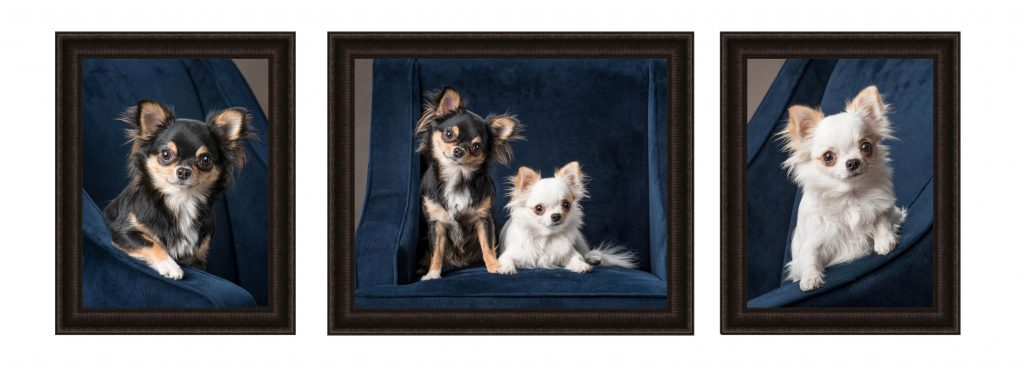 framed-studio-photography-portraits-two-longhaired-chihuahuas