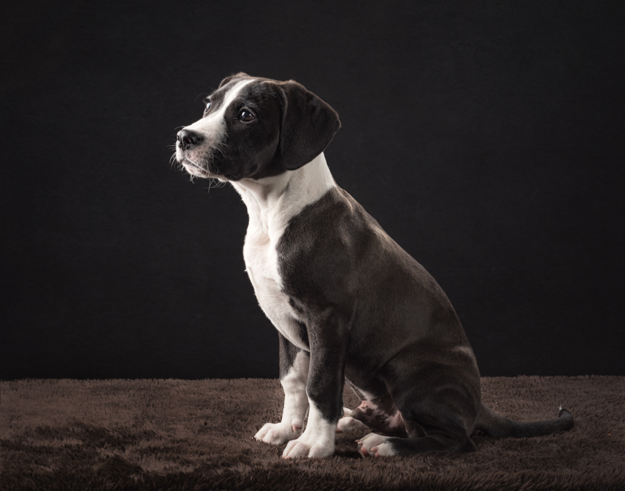 va-dog-photographer-studio-boxer-puppy-2670.jpg