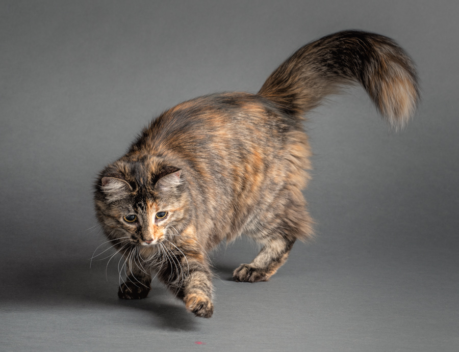 studio-cat-photography-cat-chasing-laser-pointer
