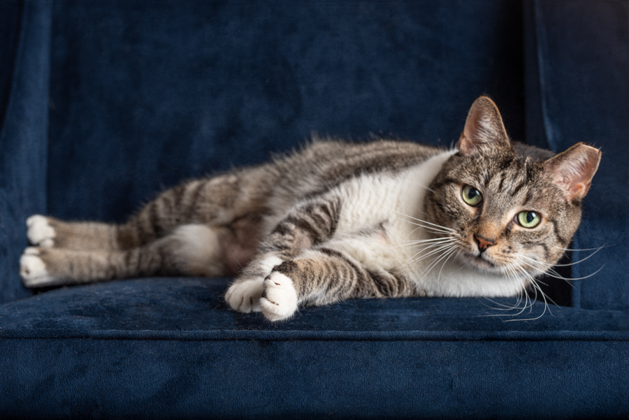 cat-blue-chair-studio-pet-photography